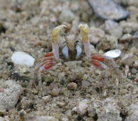 Waving crab