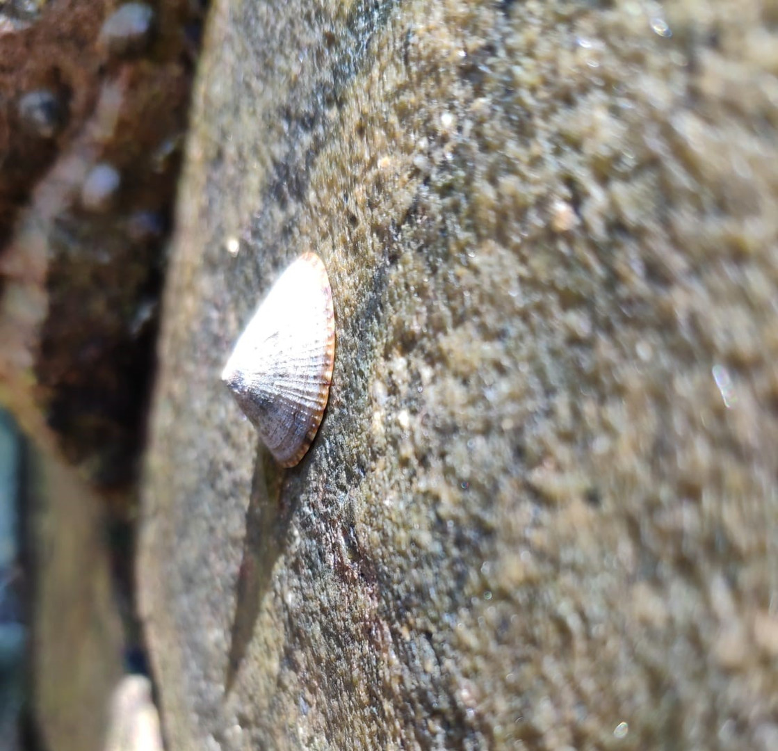 How limpets cope with stressful environment?
