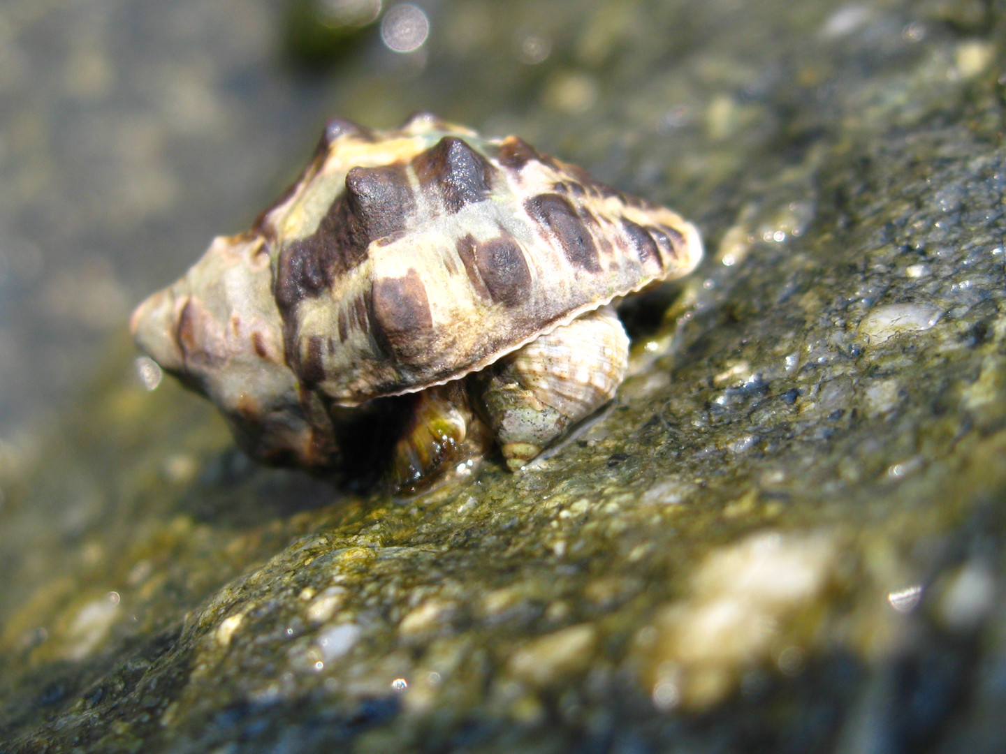 A dogwhelk feeding on a littorinid