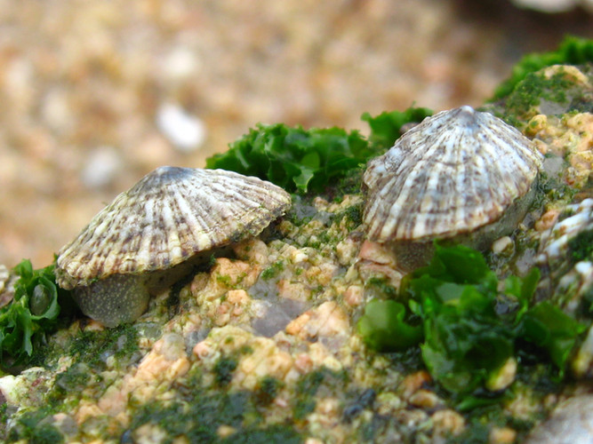 Limpet grazing