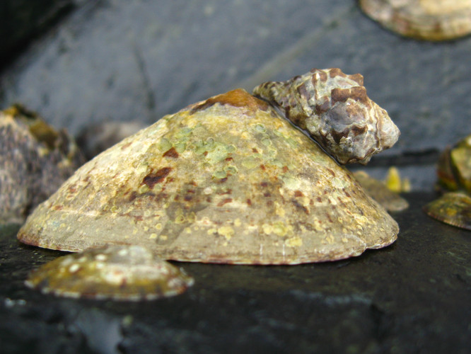 A limpet under attack