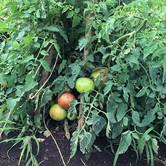 Tomatoes glorious tomatoes
