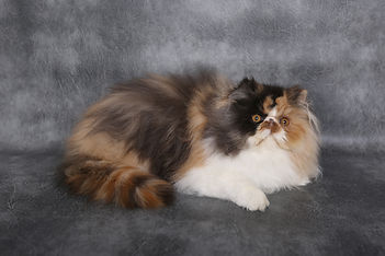 Tortie & White Persian