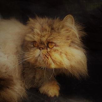 Tamosah Persian