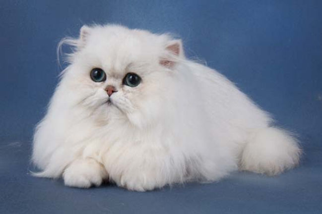 Tamosah Chinchilla Persian