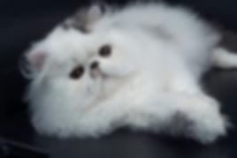 Tamosah stud cat