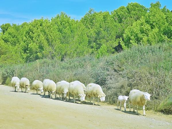 A caminho das praias do norte cruzei-me com estas ovelhas.
