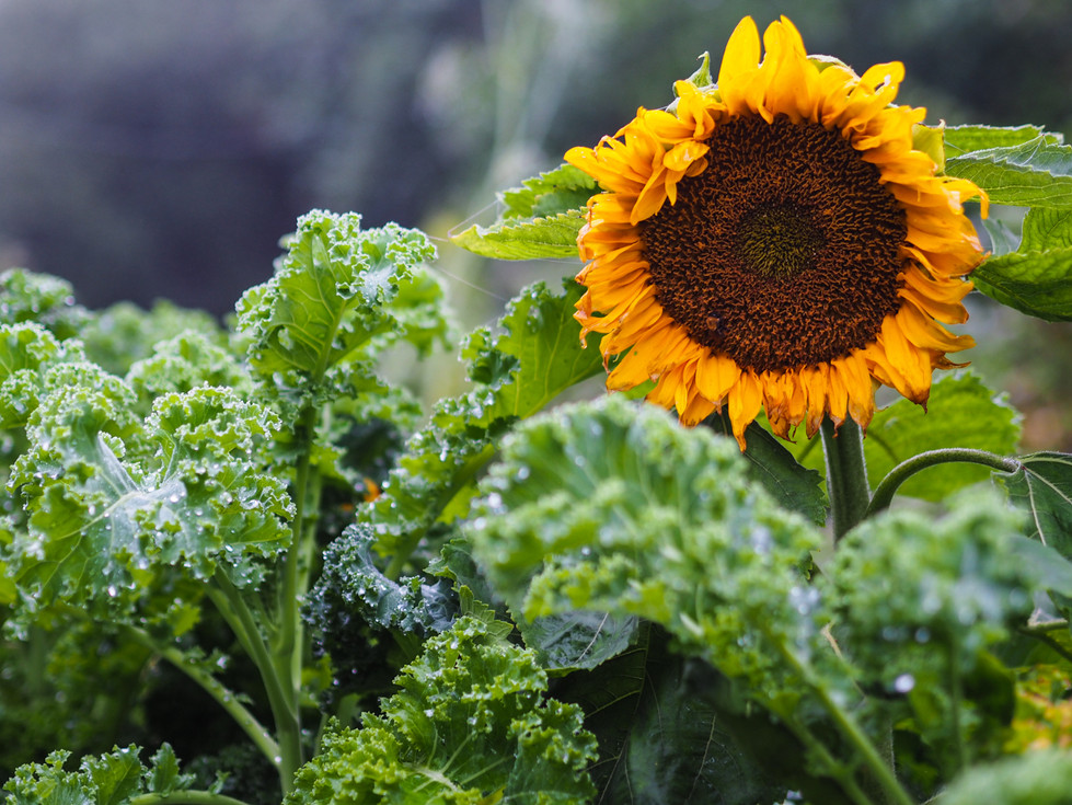 Sun Flower and Green Kale