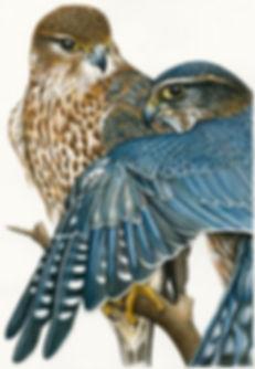 Natalie Toms - Merlin Falcons.jpg