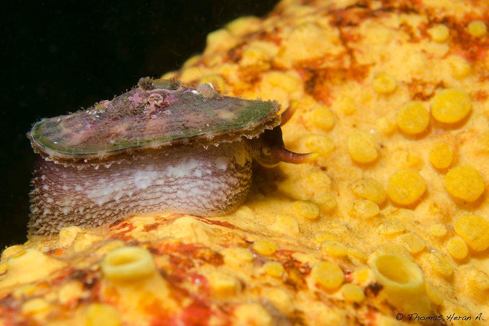 Fissurella oriens