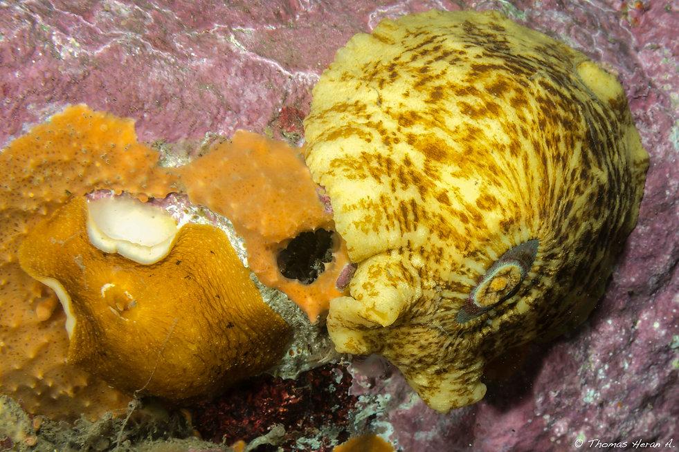 Fissurellidae patagonica