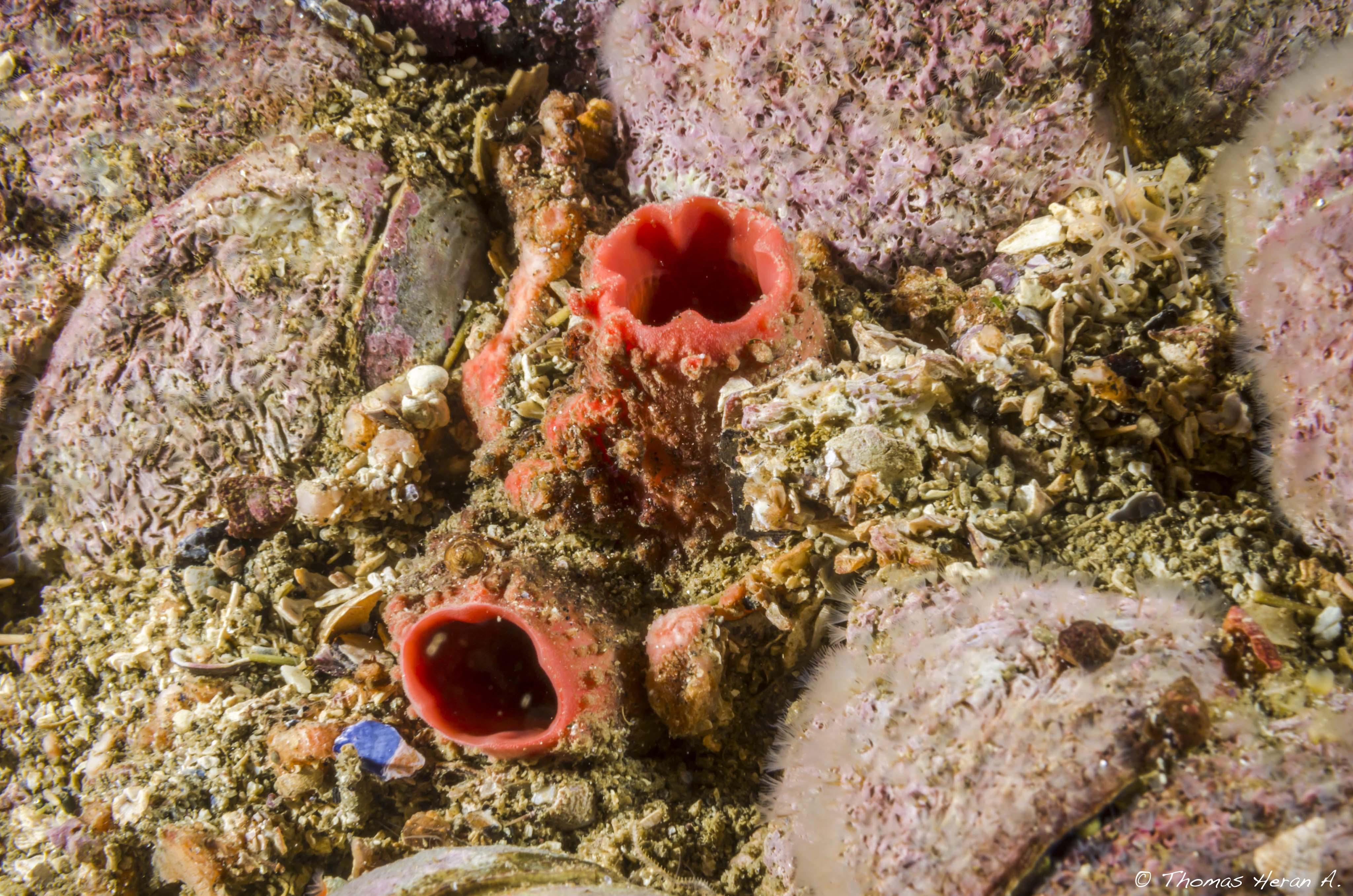 Ascidia piura