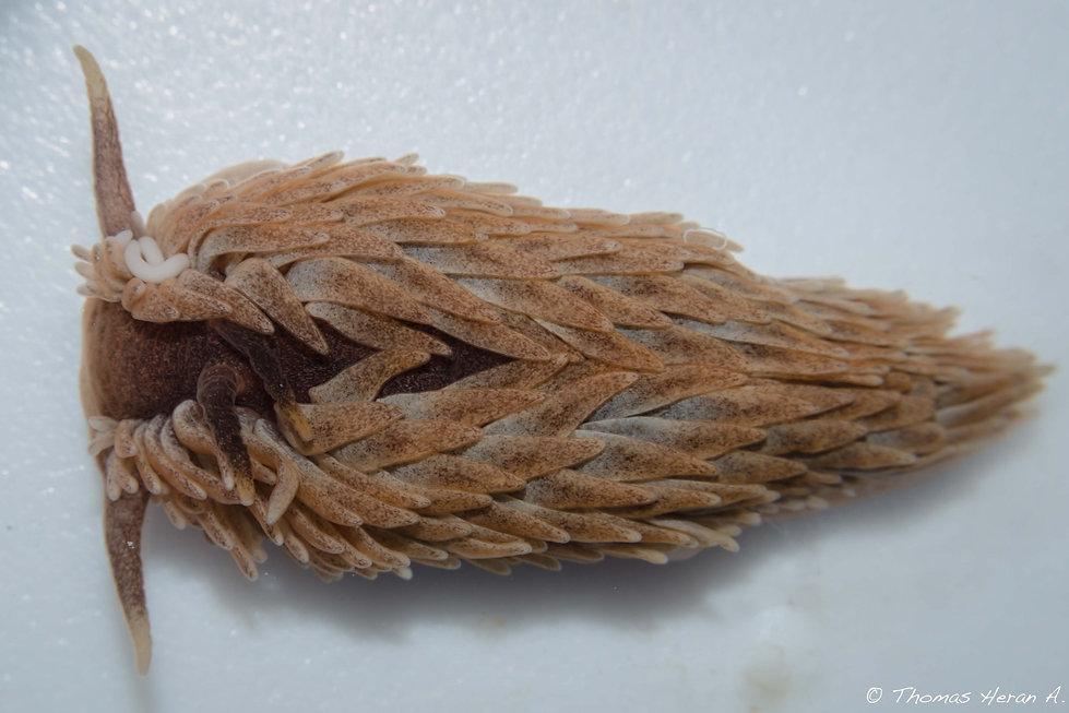 Aeolidia papillosa