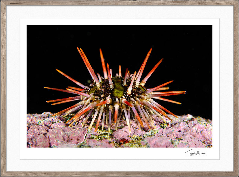 Gorgeous sea urchin