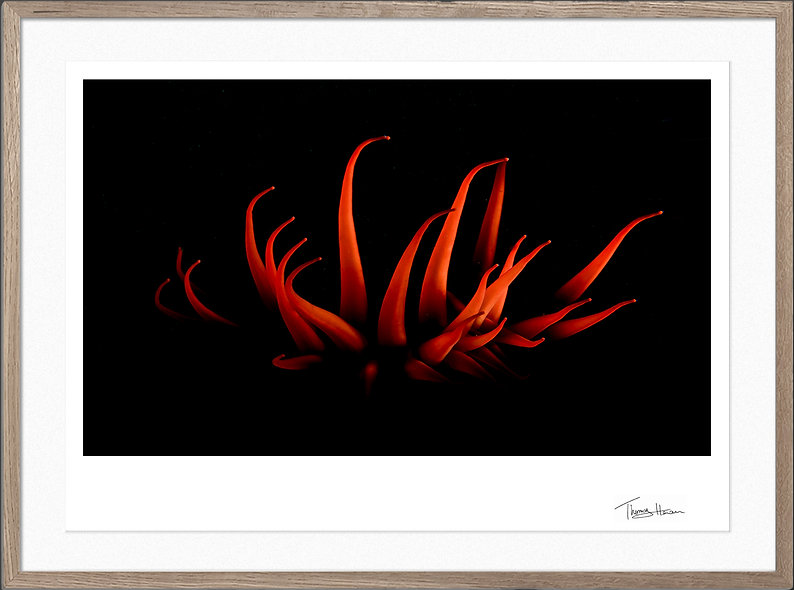 Fire anemone
