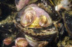 Crepidula