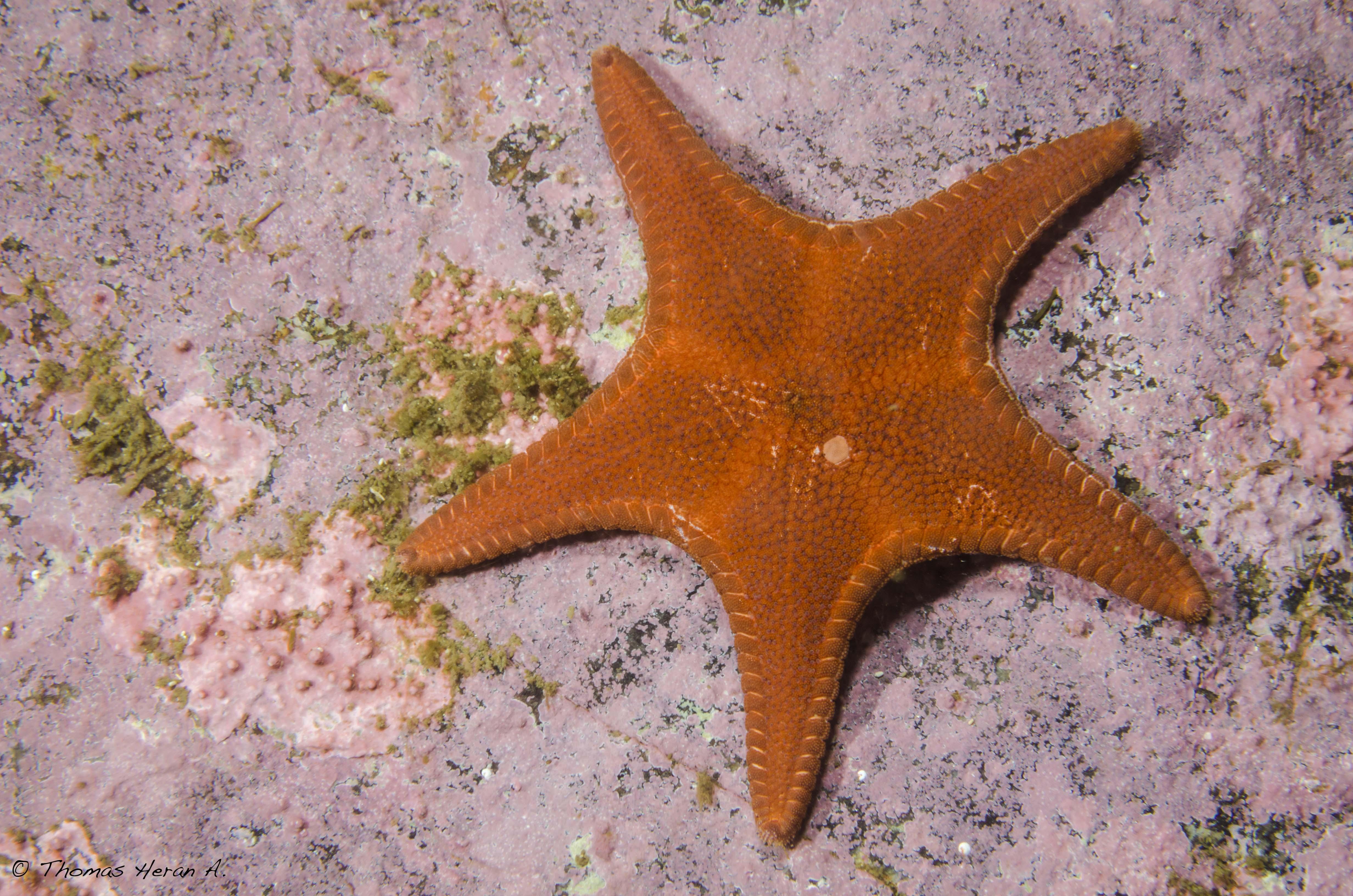 Estrella granulosa de dobladillo