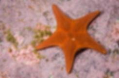 Diplodontias singularis