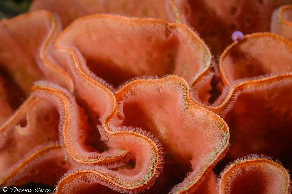 Microporella hyadesi