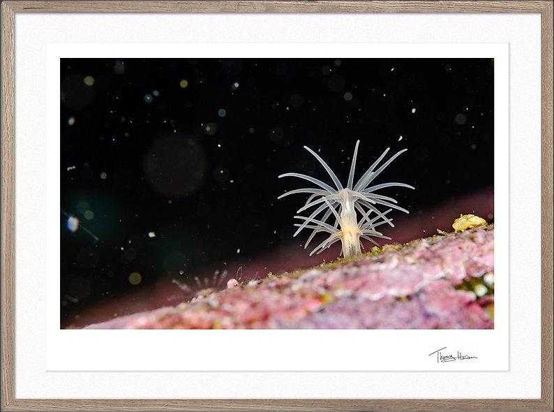 Sole anemone