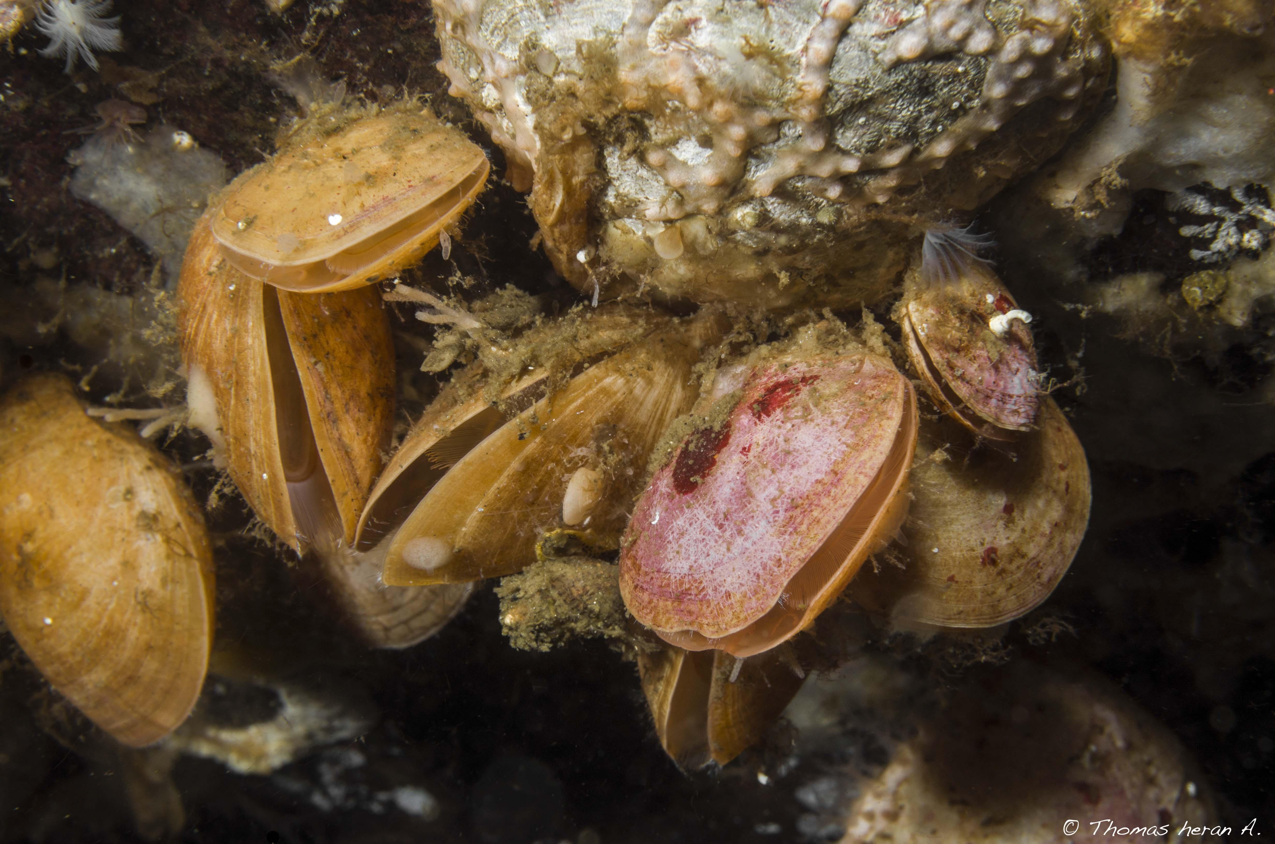 Braquiópodo grande liso