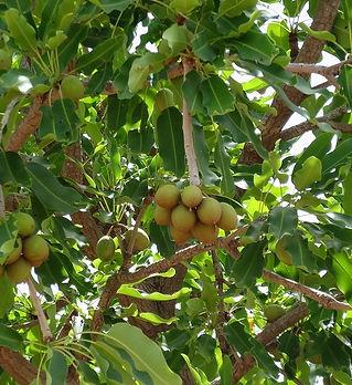shea-nut-tree-2-550.jpg