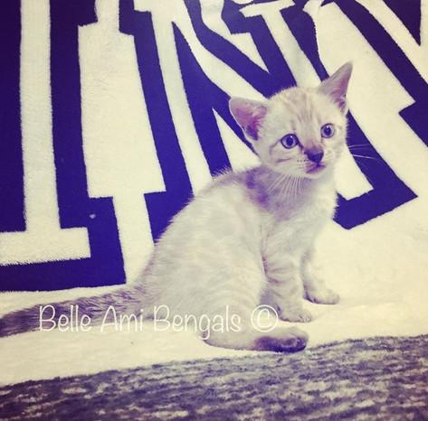 snow bengal kitten 5.jpg