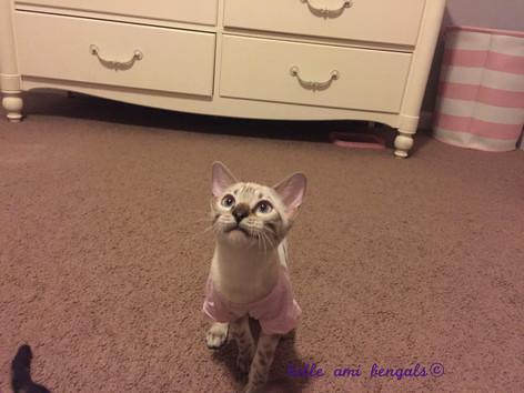 snow bengal cat.jpg