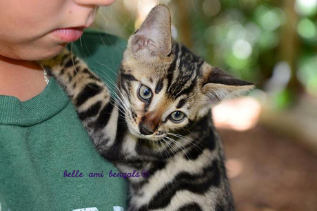 twilight_beauitiful_bengal_kittens_for_sale.jpg