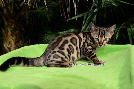 twilight_spotted_bengal_kitten_.jpg