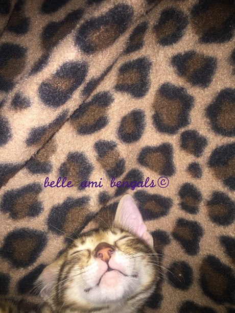 crazy bengal cat.jpg