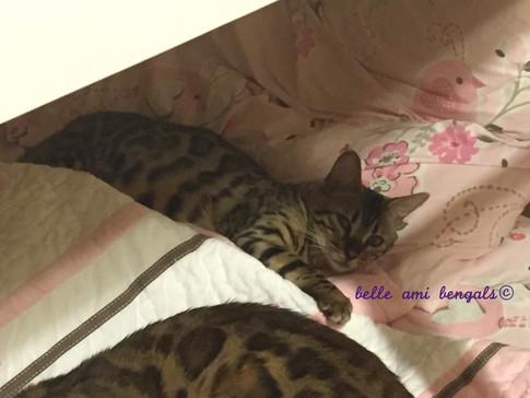 bengal cat sleeping.jpg