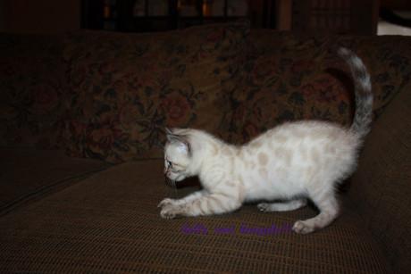 snow bengal kitten 2.jpg