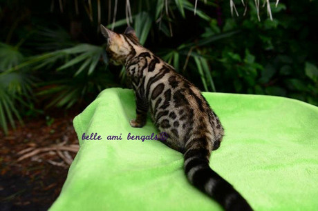 twilight_brown_spotted_bengal_kitten.jpg