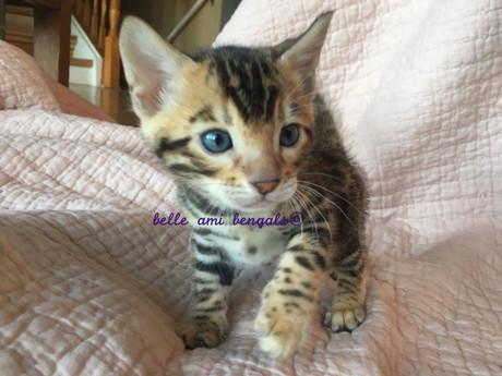 Floki brown rosetted bengal cat 4.jpg