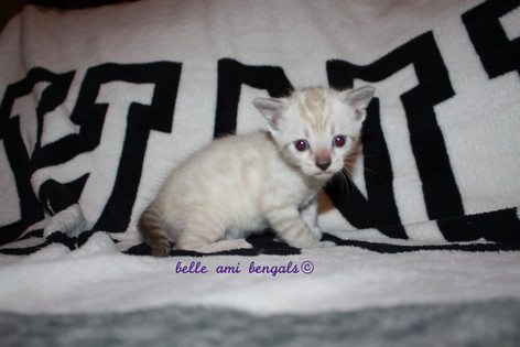 snwo bengal kitten 11.jpg