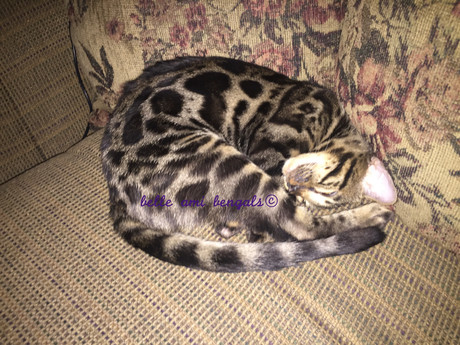 beautiful sleeping bengal.jpg