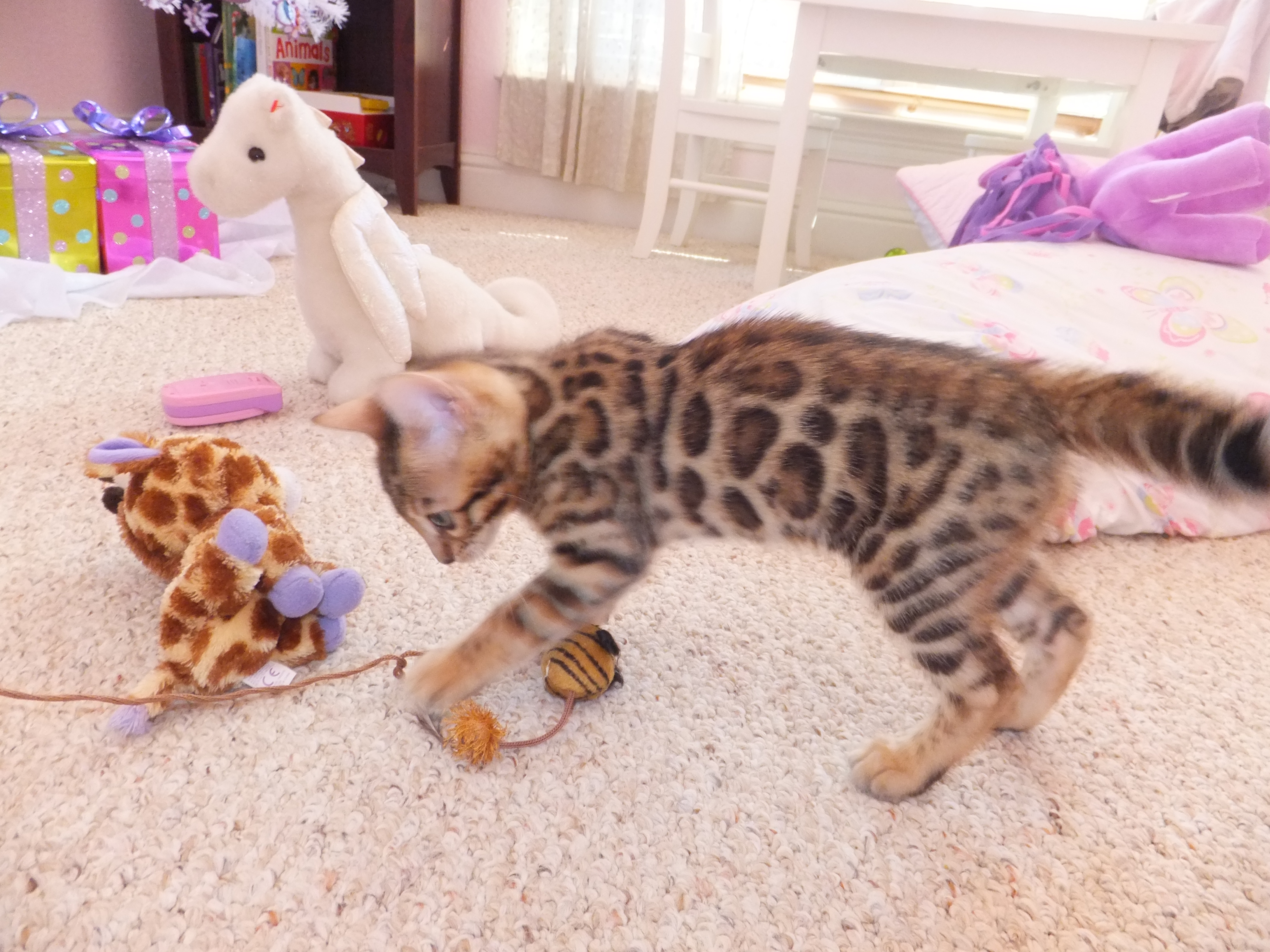 merry bengal kitten playing