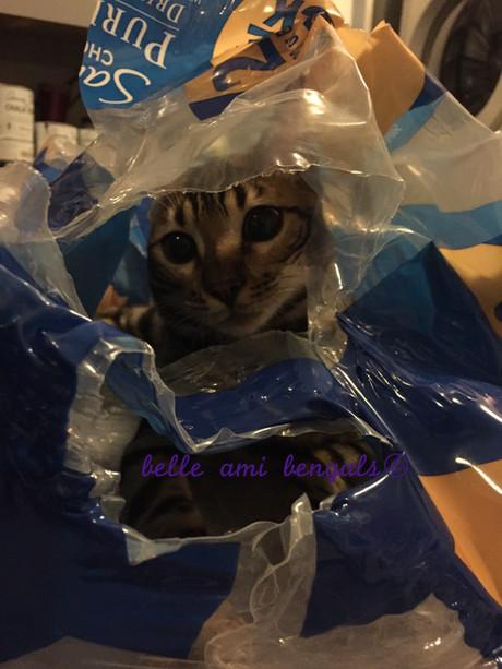 bengal cat hiding.jpg