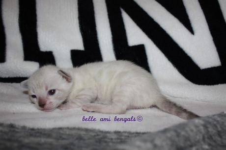 rosetted snow bengal kitten 1.jpg