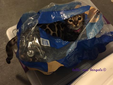 bengal cat in bag.jpg