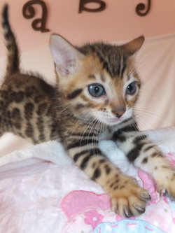 merry bengal kittens for sale in baton rouge louisiana