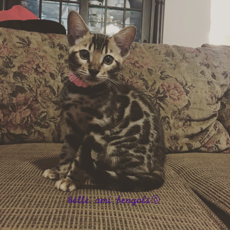 gorgeous bengal cat.jpg