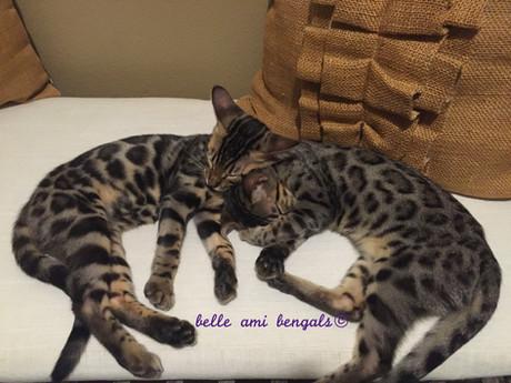bengals sleeping .jpg