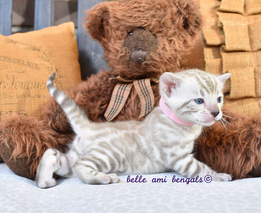 high-quality-snow-bengal-kittens-for-sal