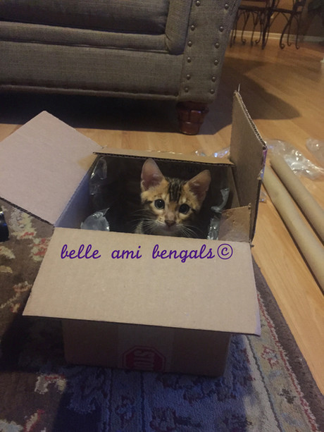 silly kitten in box.jpg