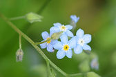 Forget-Me-Not photo.jpg
