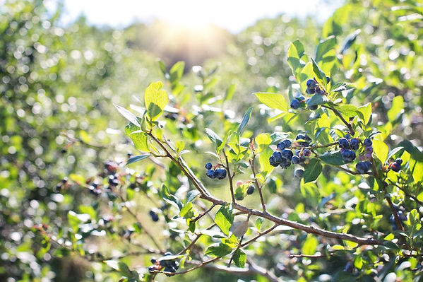 blueberries-1576403_1920.jpg