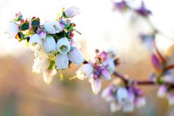 Springtime blueberry blossoms.jpeg