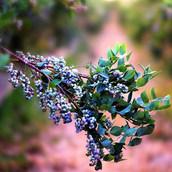 Fresh organic blueberries